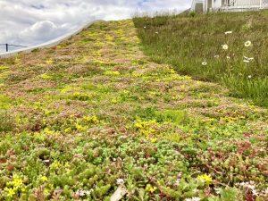 Dach zielony w uprawie ekstensywnej Radisson Blu Sopot